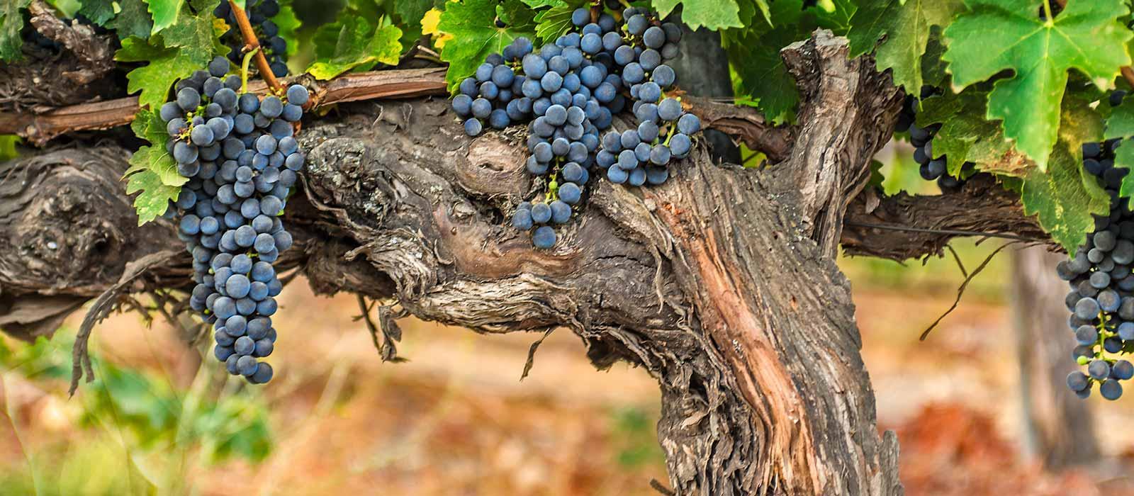 vines_and_fruit_crop