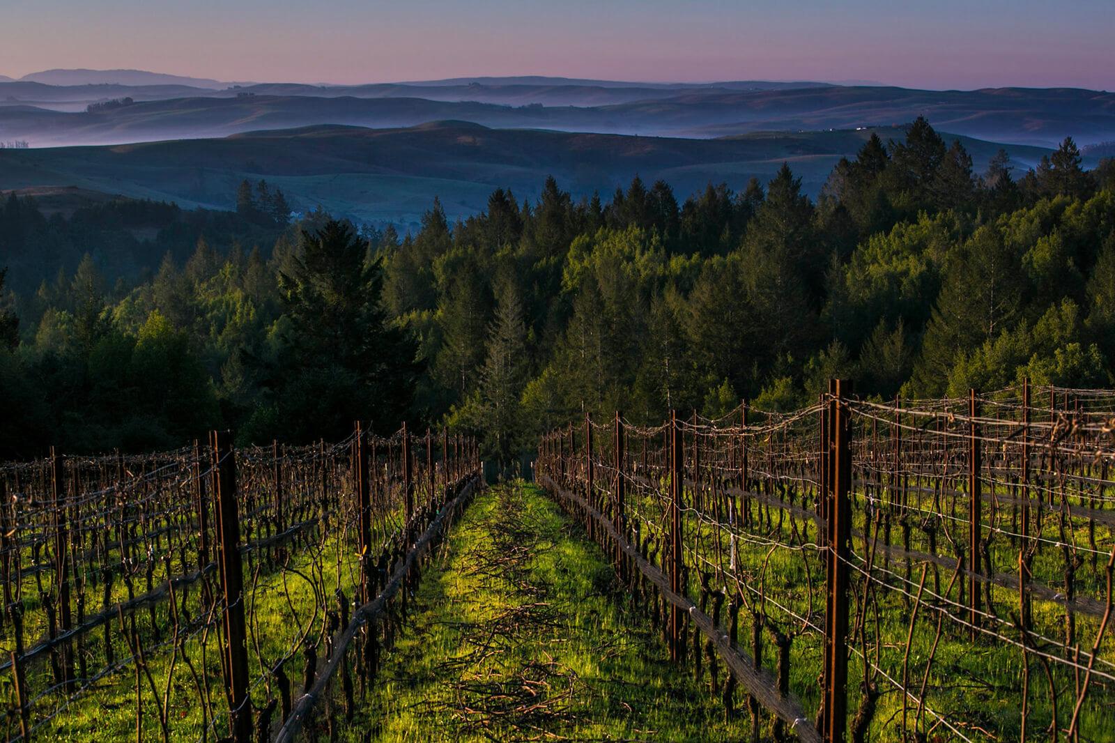 platt vineyard at dawn